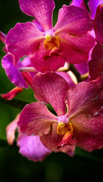 Borneo Orchid 2