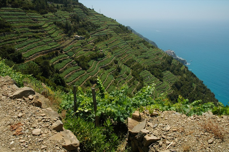 Terraced Vineyards - Cinque Terre, Italy