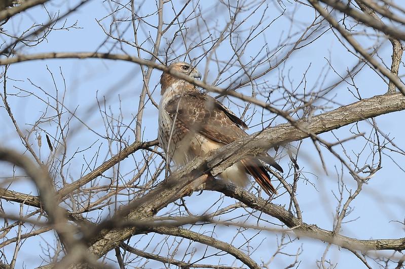 buzzards-4985.jpg