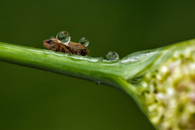 A Froghopper (I think) on a garlic stem.