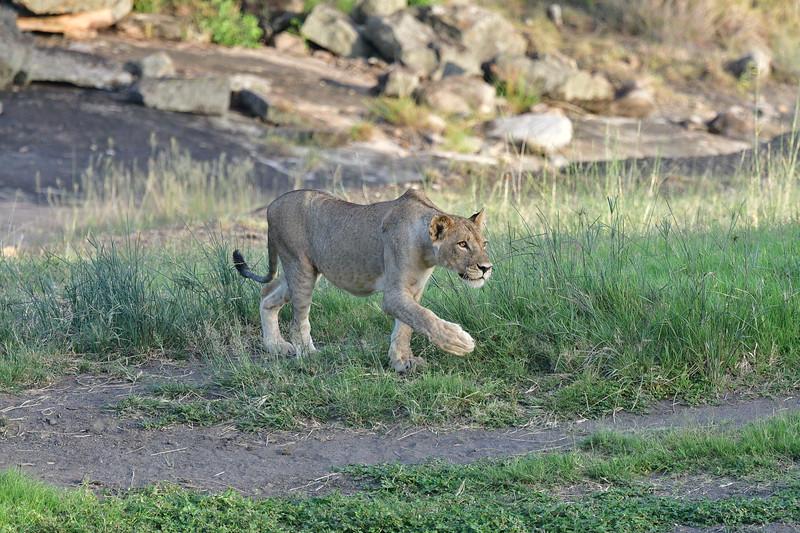 Female Lion Stalking