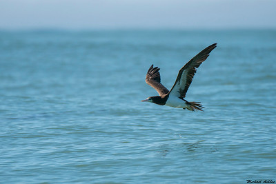 Brown Booby (Rare tropical Vagrant)