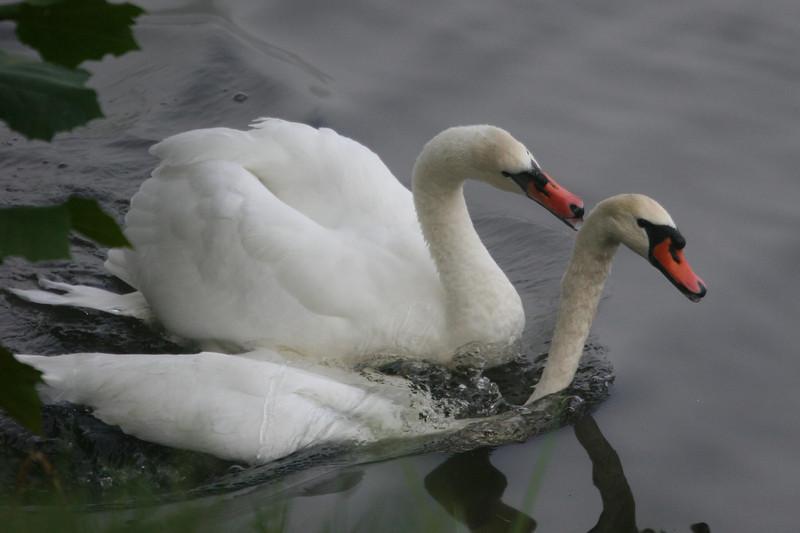 mute swans on Lake Junaluska, NC