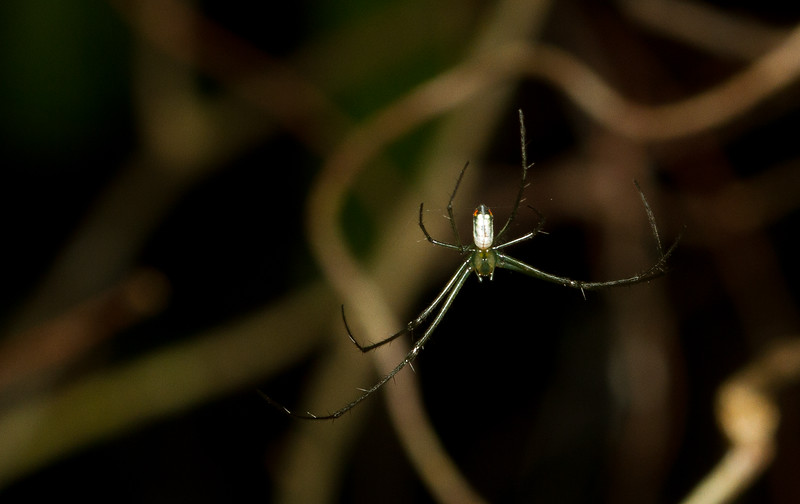 Long-jawed orb weaver, Tetragnathidae, from the Timucuan Preserve in Florida.
