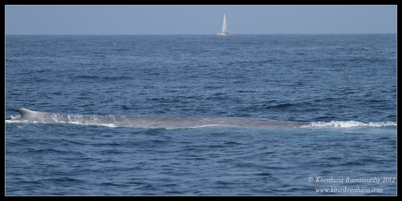 Blue Whale, Whale Watching trip, San Diego County, California, September 2012