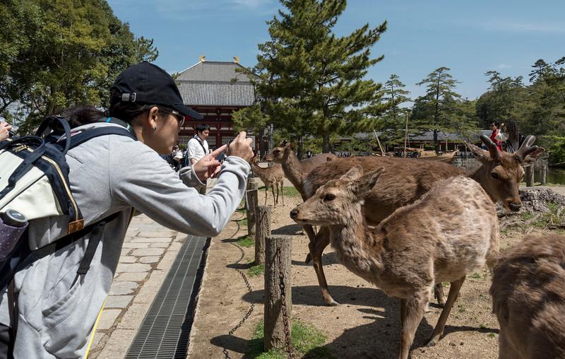 Tourists take photos of tame sika deer outside Todaiji (Todai-ji) Temple, Nara, Japan