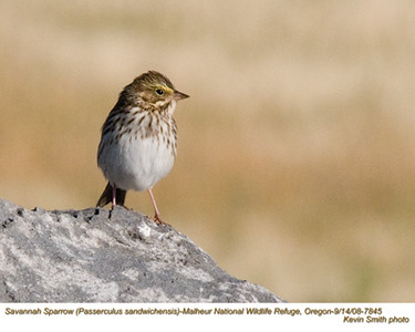 SavannahSparrow7845.jpg