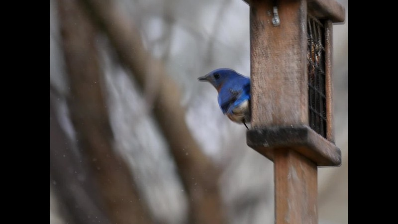 Bluebirds in the Snow Compiliation.mp4