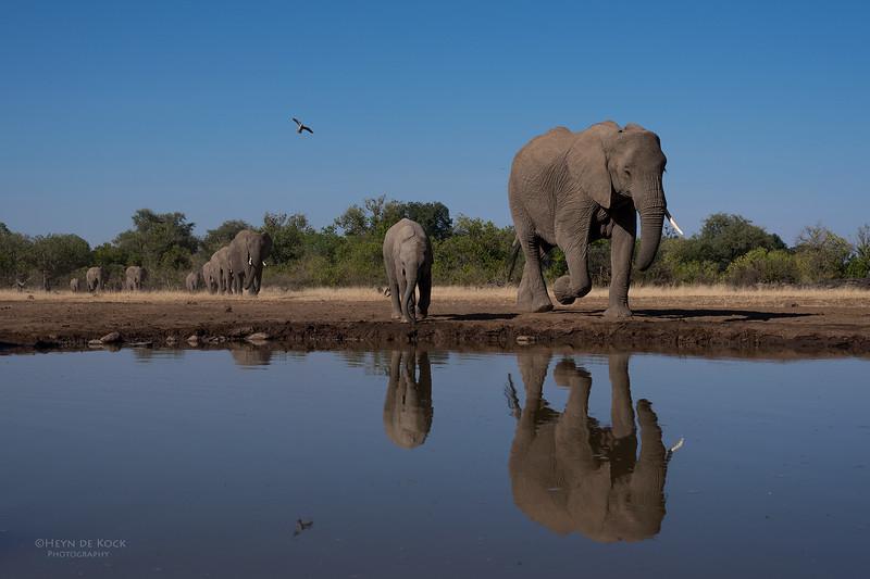 African Elephant, Mashatu GR, Botswana, May 2017-17.jpg