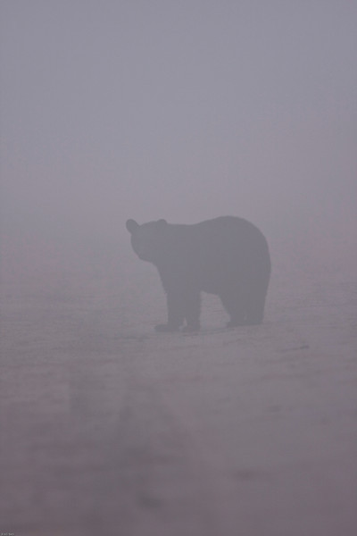 Black bear in fog