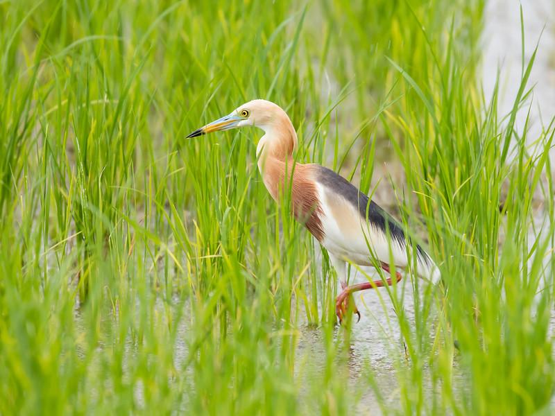 Javan Pond Heron