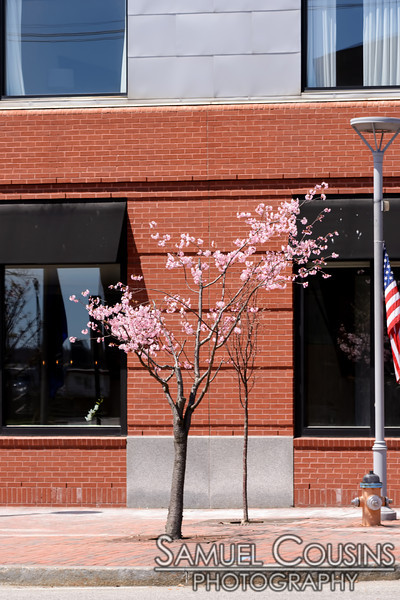 Cherry tree blossoming in the Old Port.