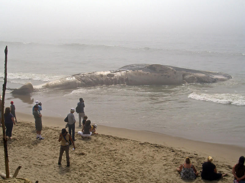 Blue whale beached on 9/14/07, 78 feet in length, @200,000 pounds, one of five beached in area since 1980. An endangered species, about 100-200 blue whales feed off Santa Barbara coast during this time of year during their annual summer migration from Mexico and South America.