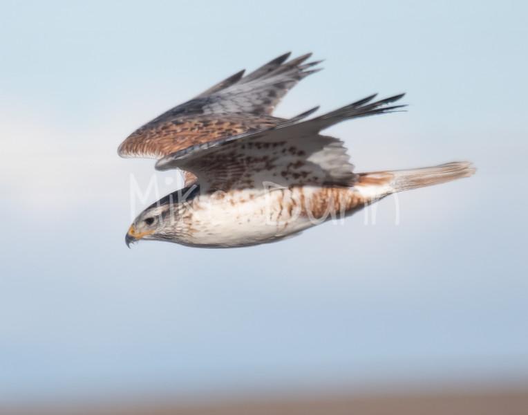 Ferruginous Hawk-129