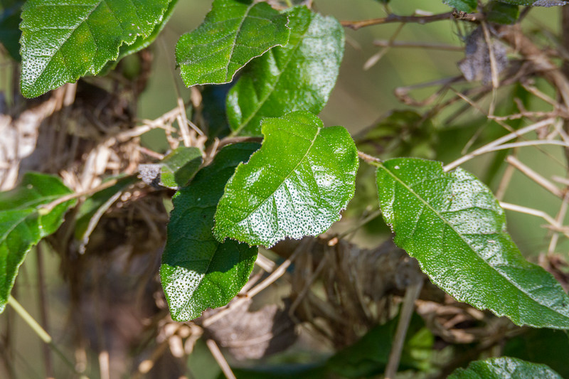 Ehretia anacua - Anacua (Sandpaper Tree)