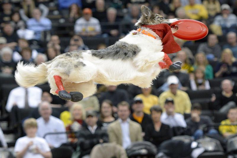 Frisbee dogs 02.jpg