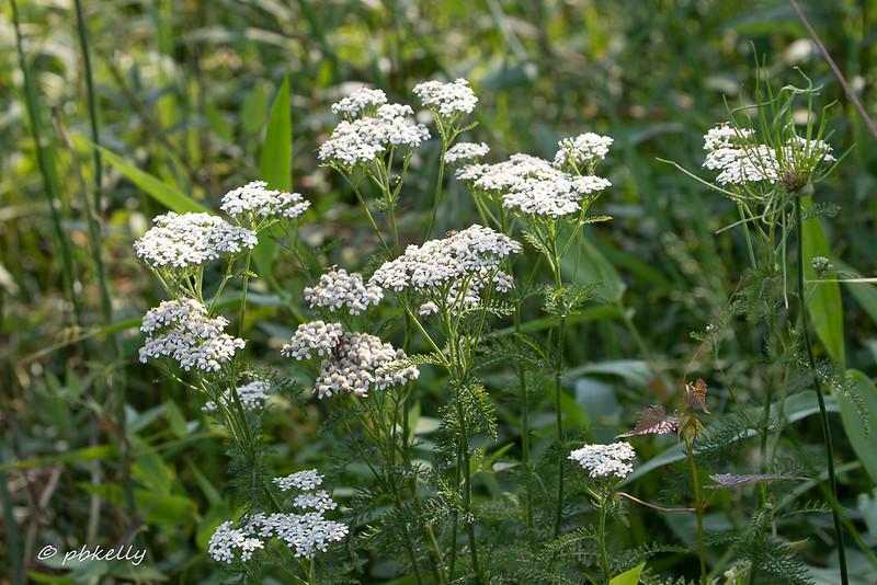 Yarrow, another wildflower ahead of  NE Ohio schedule.