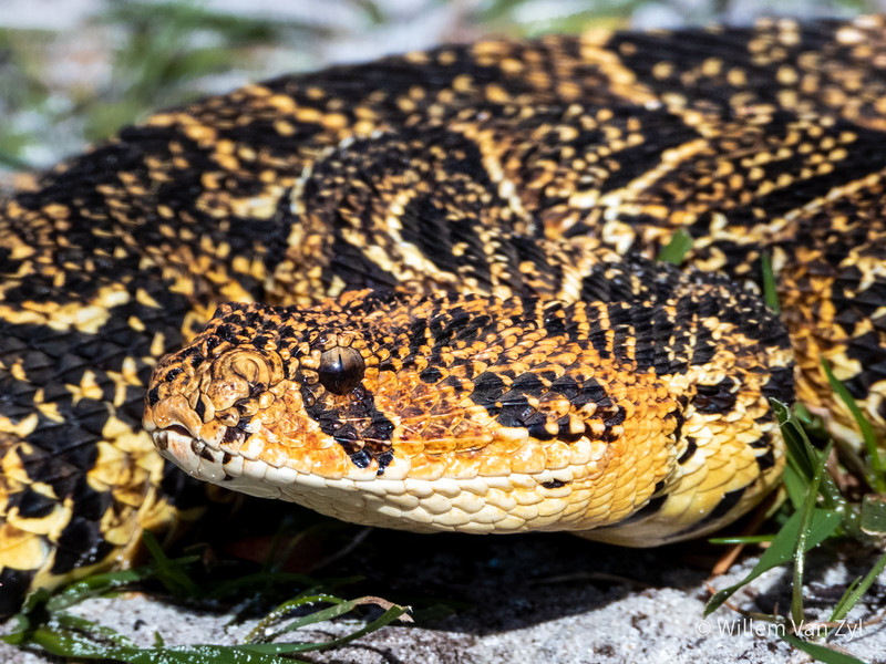 20190809 Puff Adder (Bitis arietans) from Somerset West