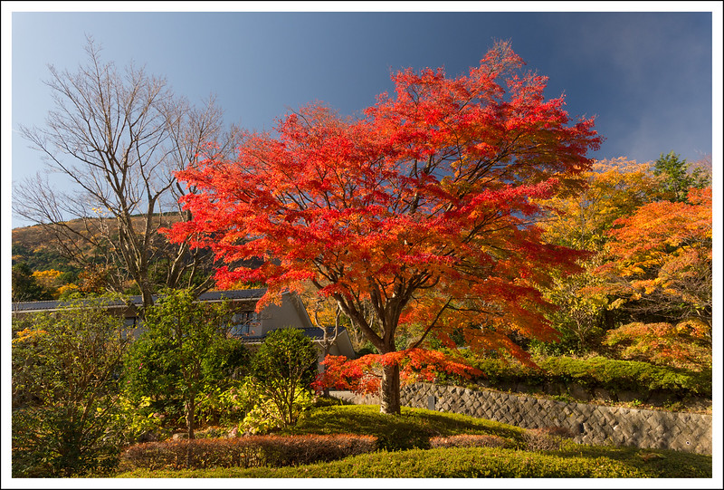 This maple tree in front of the resort across the street gives us much pleasure every year.