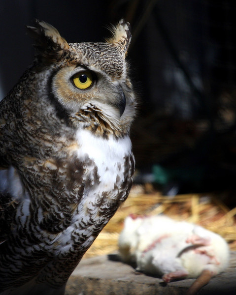 2009 - The Great Horned Owl