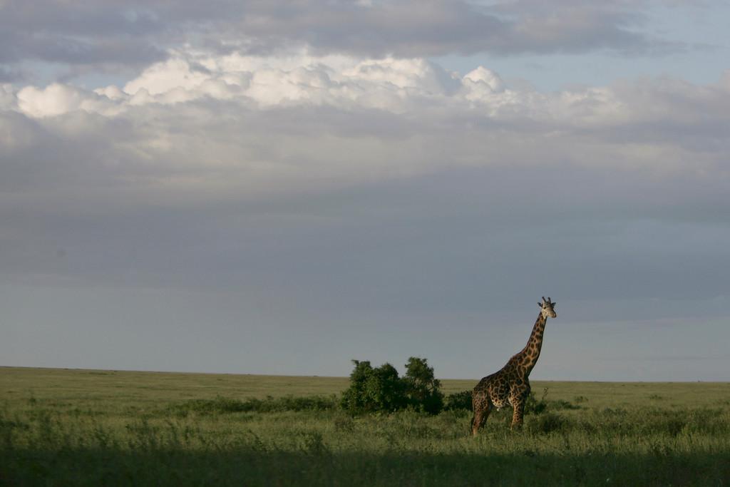 . A Giraffe in Serengeti National Park, Tanzania, Africa.