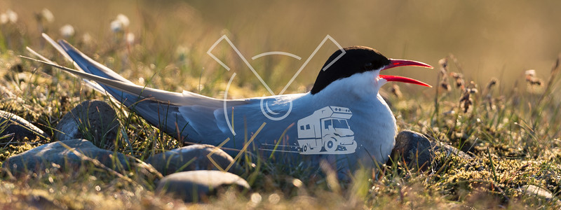 The Arctic tern (Sterna paradisaea) is a tern in Iceland