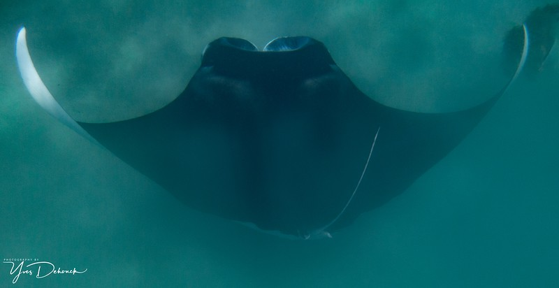 The Manta Rays from Coral Bay Western Australia