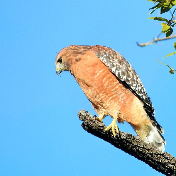Red Shouldered Hawk at Rancho San Antonio