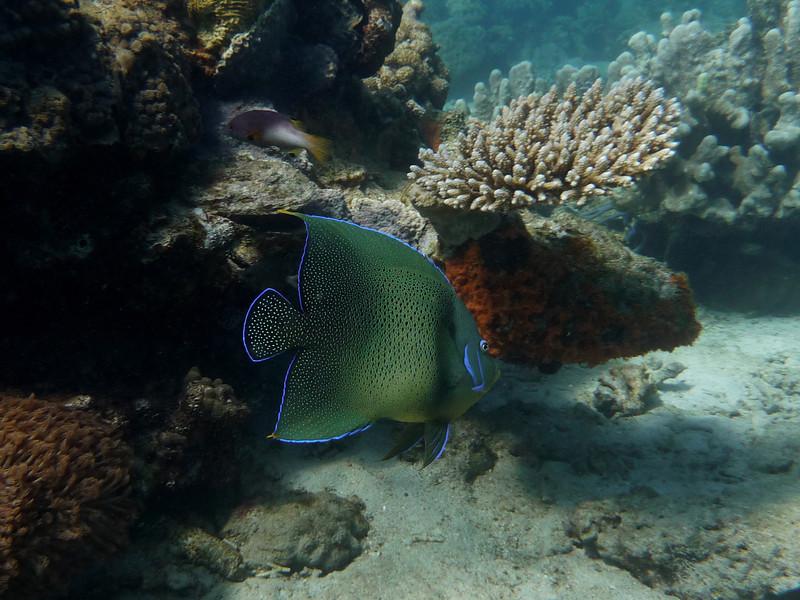 008_0464 Koran_Angelfish_Pomacanthus_semicirculatus.jpg