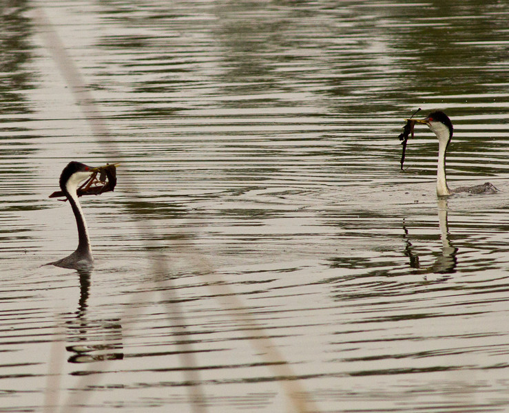 Western Grebe  Camp Pendleton 2013 03 29 (1 of 7).CR2