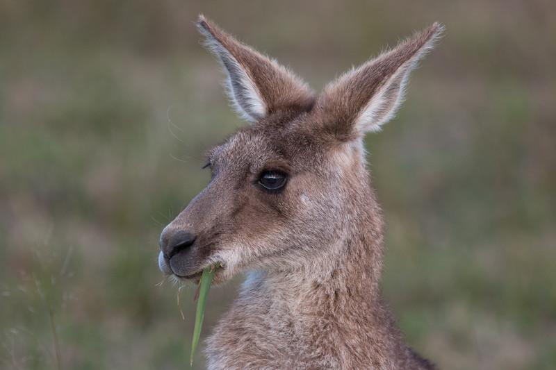 Eastern grey kangaroo, Sunshine Coast, Queensland
