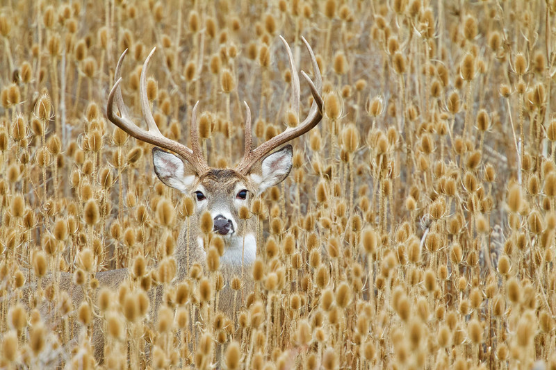 Whitetails in the Wild - 19.jpg