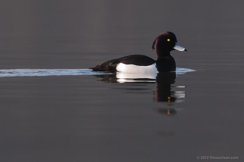 Troldand (Aythya fuligula - Tufted Duck) han svømmende på Lyngby Sø - marts 2012
