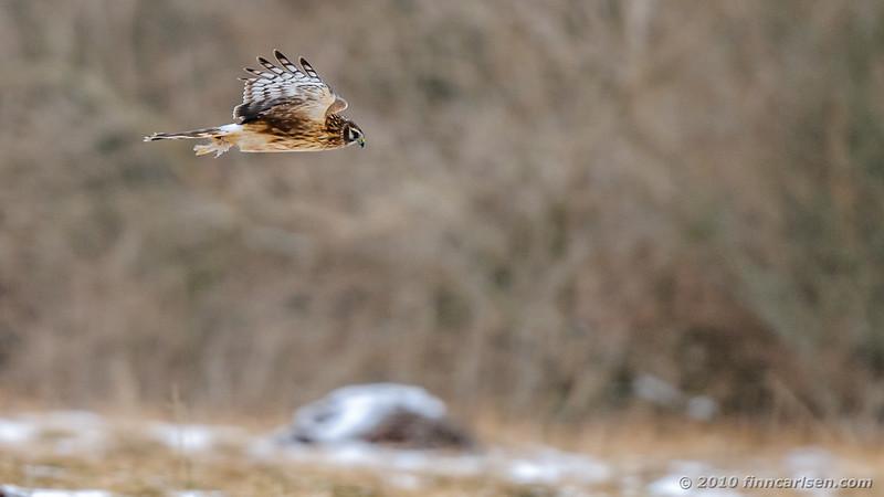Blå kærhøg - Circus cyaneus - Northern Harrier