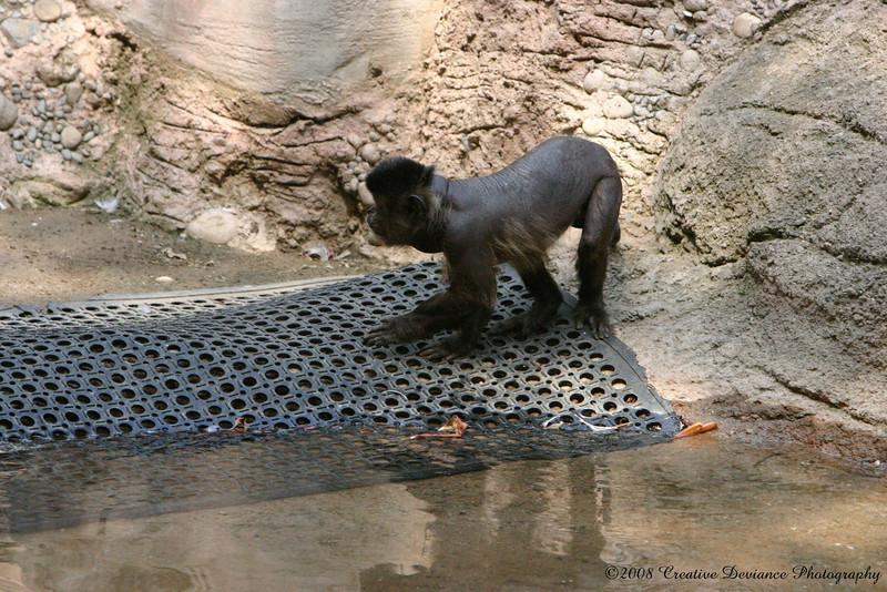 Brown Capuchin14.jpg