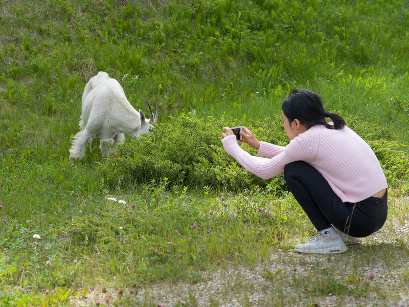 Woman photographing a mountain goat, Icefields Parkway, Jasper, Alberta, Canada