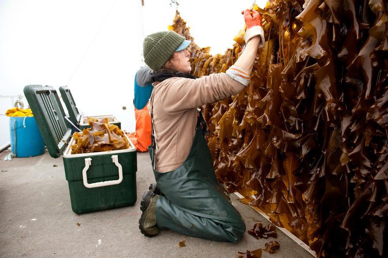 43. Kelp farm, Casco Bay, Maine, May 2013.
