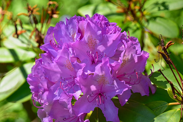 Rhododendron Time at Edwards Gardens  (June 2020)