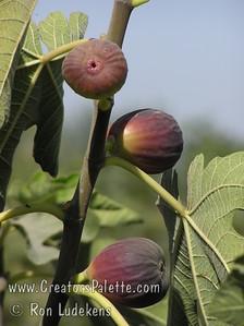 Black Jack Figs - Ficus carica