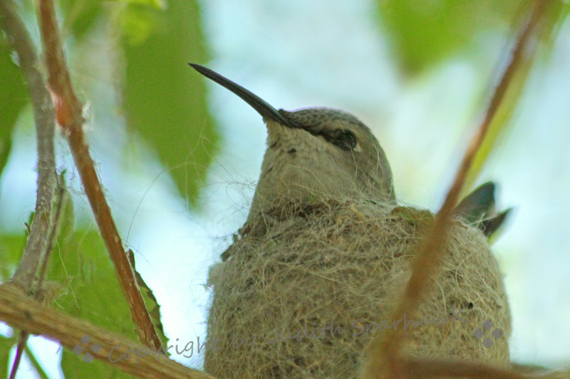 Female Costa's Hummingbird on Nest ~ This photo shows the very fine hair and cobwebs that make up her nest.  She is sitting on two eggs, patiently waiting.