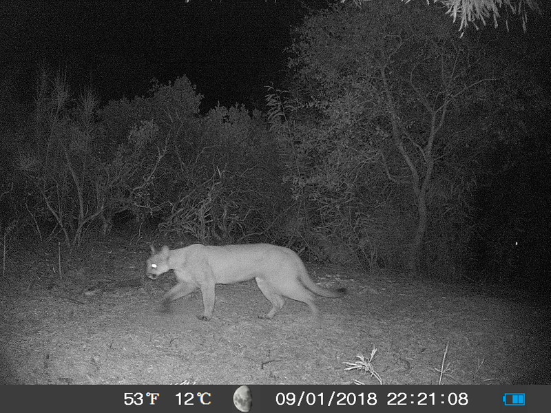 An image of the puma (prev. video) from a nearby trail camera.
