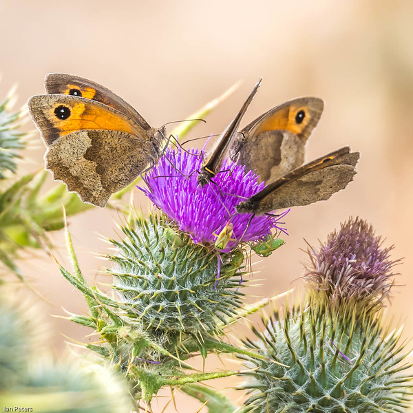 Ian Peters - Meadow Browns nectaring on Spear Thistle with Shield Bugs.jpg