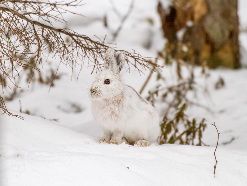 Snowshoe Hare Warren Nelson Memorial Bog Sax-Zim Bog MNIMG_0708.jpg