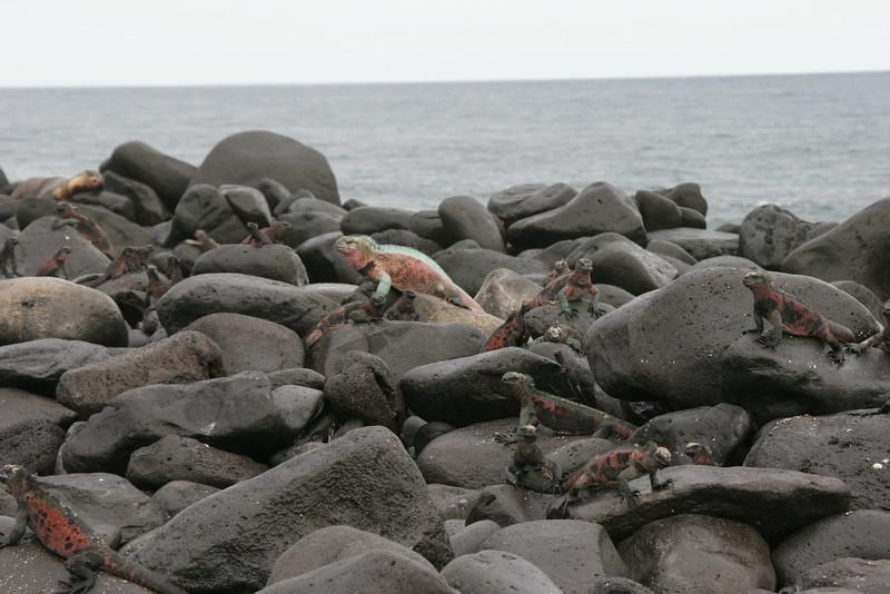 2007-02-19-0002-Galapagos with Hahns-Day 3, Espanola-Marine Iguanas.JPG