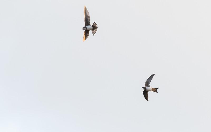 güzelyurt, alpengierzwaluw, alpine swift