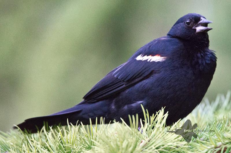 Red-Winged Blackbird_2019-07-23_3