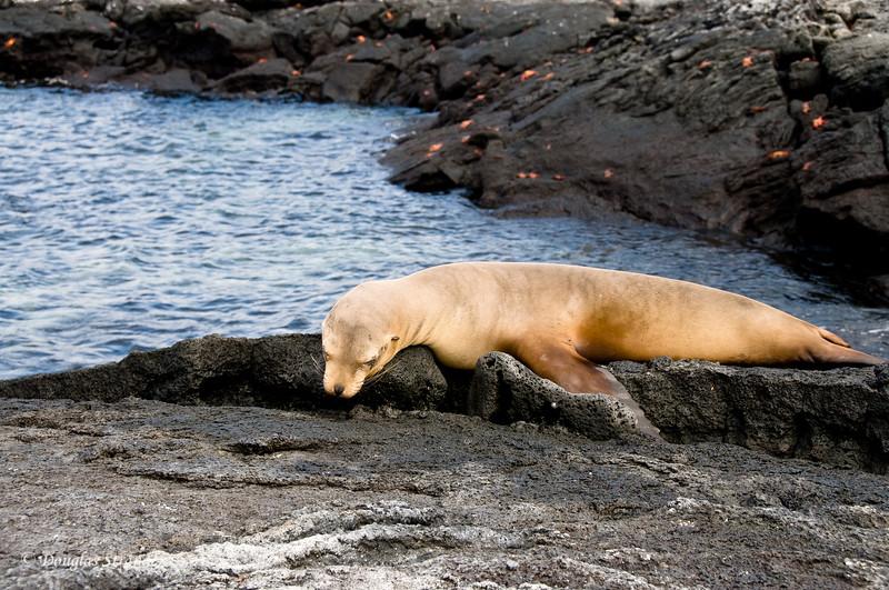 A sea lion enjoying the day.  Punta Espinoza, Fernandina Island
