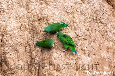 Tui Parakeet, Tambo Blanquillo Lodge, Peru
