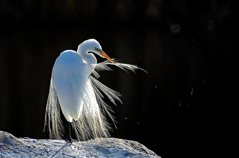 great egret preening its feathers on display at Wertheim National Wildlife Refuge