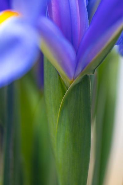 BLUE IRIS   15